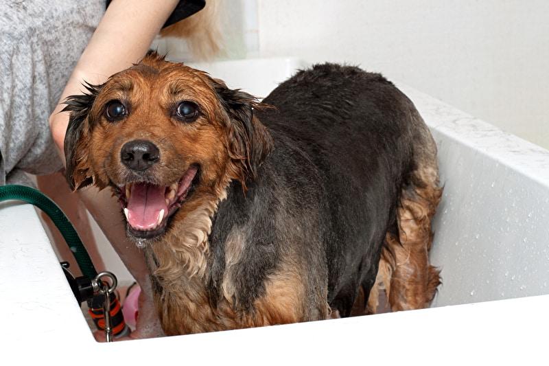 Flohshampoo Hund