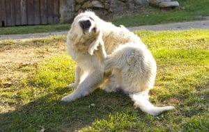 Hund juckt sich