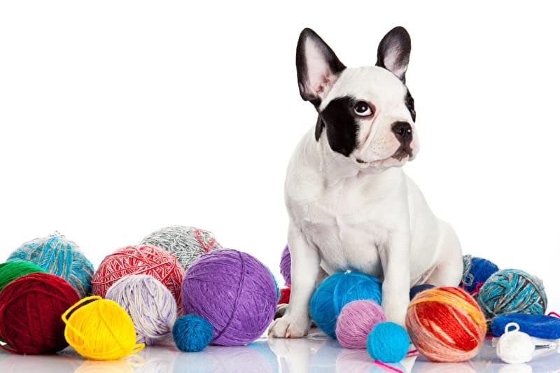 Hundekleidung Französische Bulldogge
