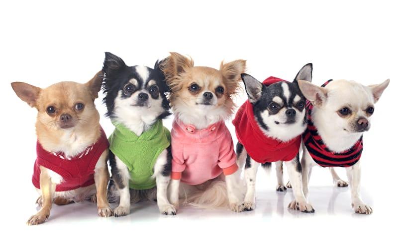 Chihuahua Kleidung
